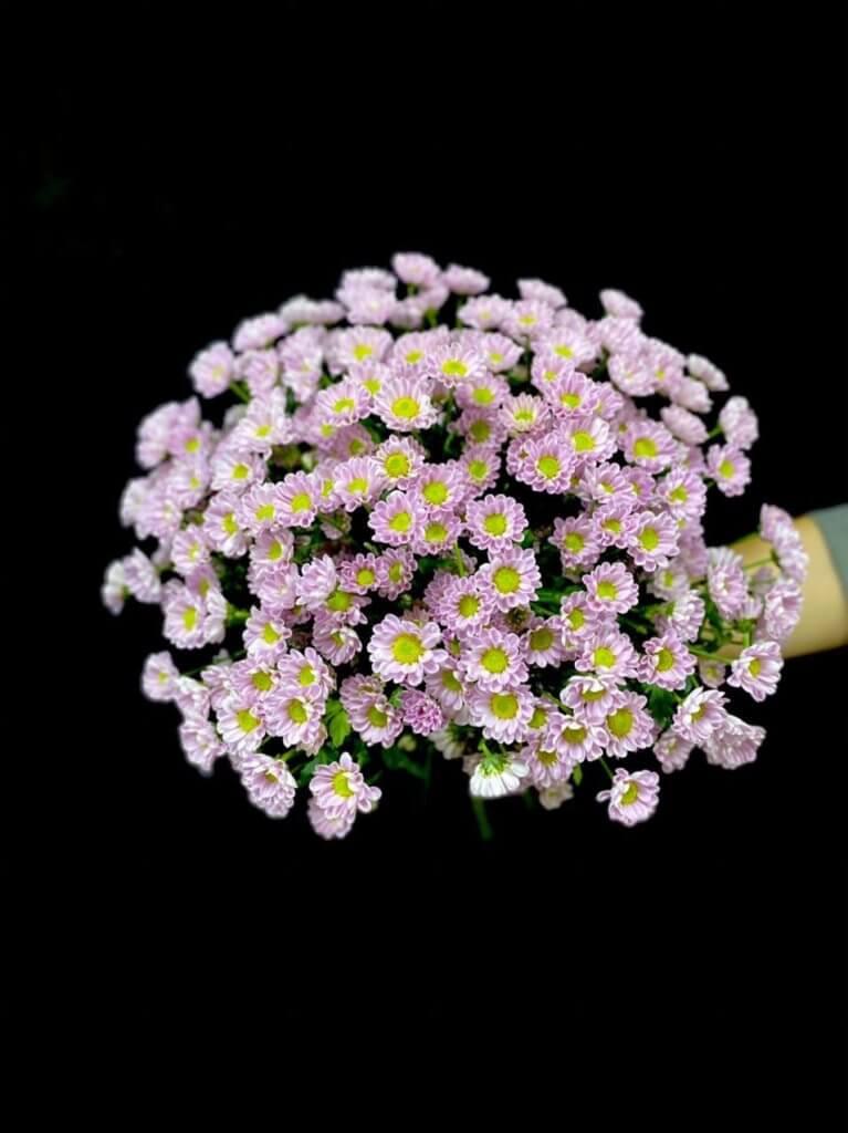 Розовые хризантемы (сантини 55 см)